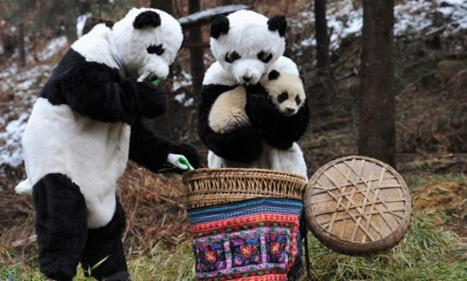 Costumed researchers at China's Wolong National Nature Reserve cradle a panda cub before transporting it to a bigger living environment.
