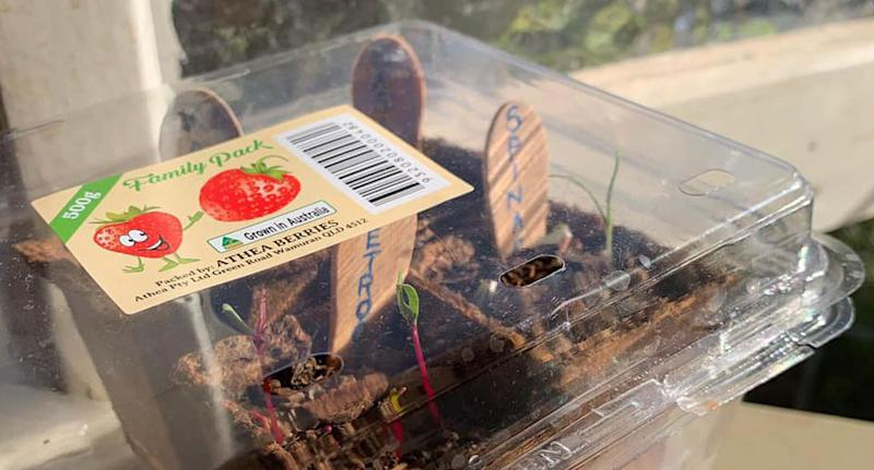 A number of Woolworths Discovery Garden plants growing in a strawberry punnet.