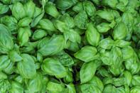 <p>Keep flies and mosquitos away by placing basil in your outdoor space. Not only is its smell incredible but fresh basil tastes delicious in almost all cuisine. </p>