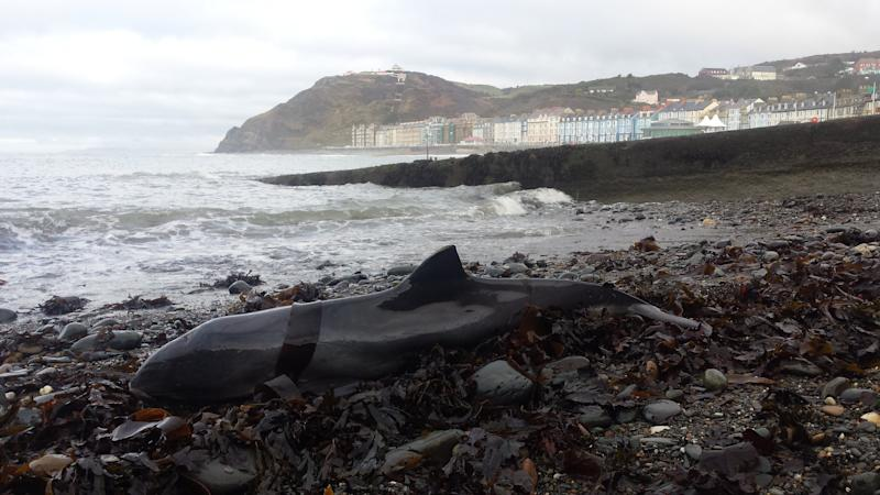 This year, a study of dolphins, seals and whales washed up on British shores alone found plastic in the digestive system of every single one (Photo: PA )