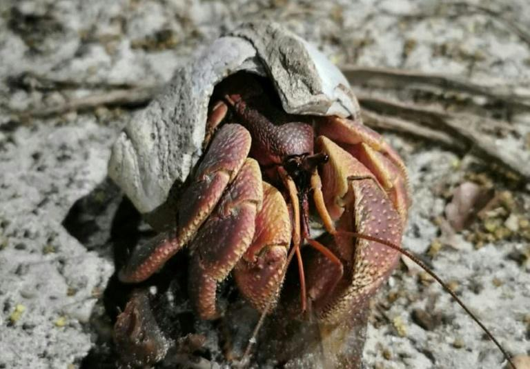 The population of hermit crabs has exploded on some islands in the Mu Koh Lanta National Park