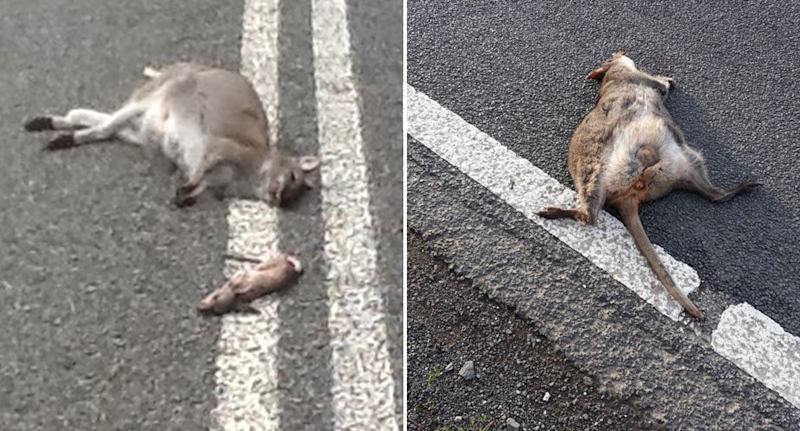 Citizen scientists are already sending images to the Roadkill Reporter app. Pictured left is a dead kangaroo with its joey lying beside it and on the right is another deceased marsupial.
