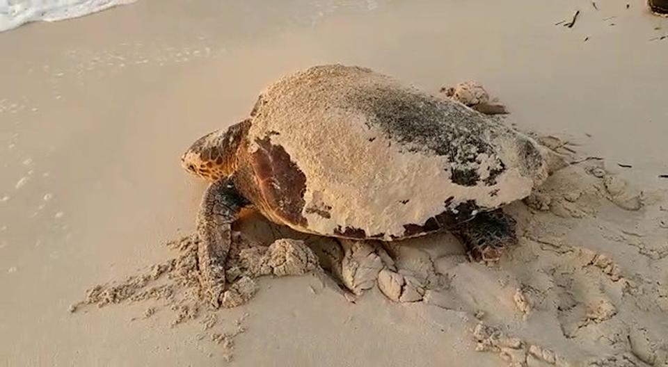 A loggerhead sea turtle is seen on the sand after spawning on a beach.
