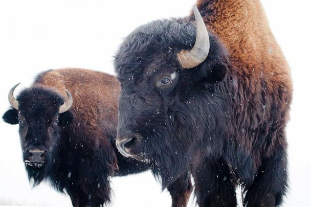 PHOTO: American bison. (STOCK PHOTO/Getty Images)
