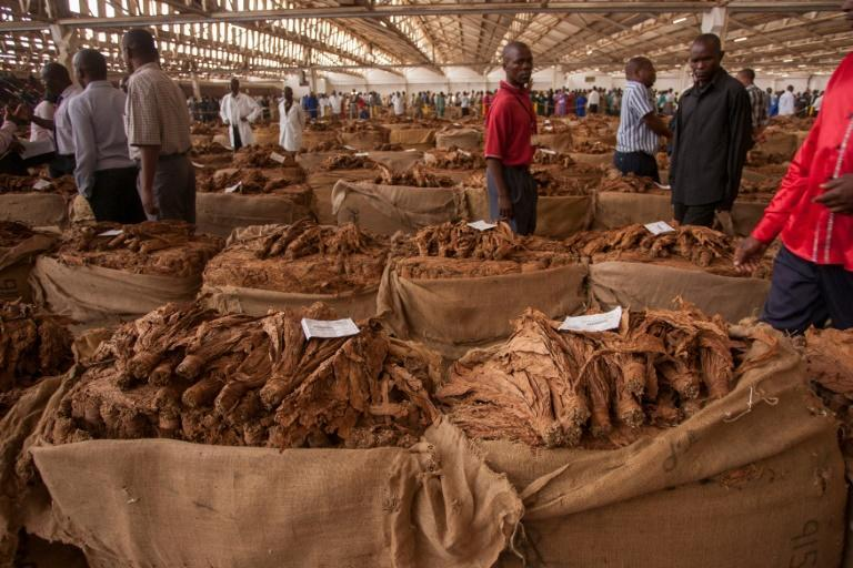A Malawi tobacco auction of yesteryear (AFP Photo/AMOS GUMULIRA)