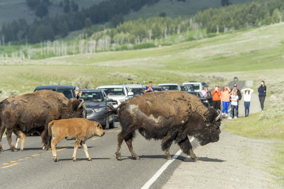 YELLOWSTONE NATIONAL PARK,WY - JUNE 08: Visitors watch bison and their newborns as they cross the road in Yellowstone National Park on June 8,2021. Yellowstone is seeing a record number of visitors since all entrances were open for the 2021 tourist season.  (Photo by William Campbell/Getty Images)