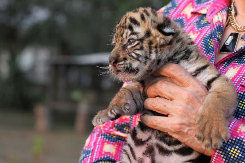 Covid, a Bengal tiger cub, named after the coronavirus disease (COVID-19) outbreak, is pictured at the zoo in Cordoba