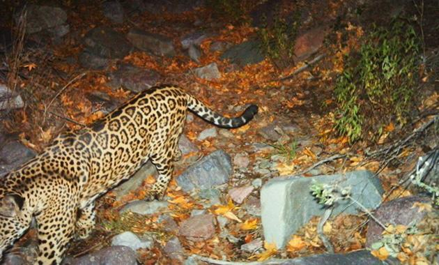 Jaguar photographed by motion detector camera (photo: Fish and Wildlife Service)