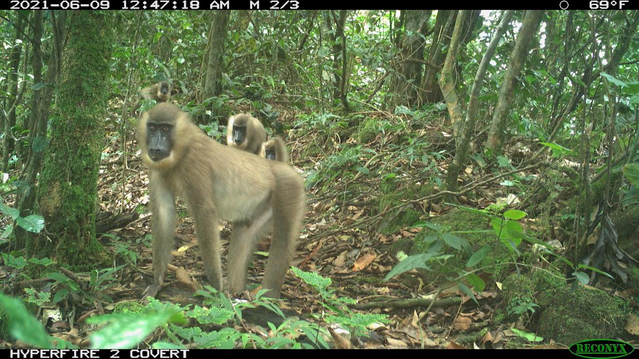 Drills, a type of primate, photographed by the camera trap