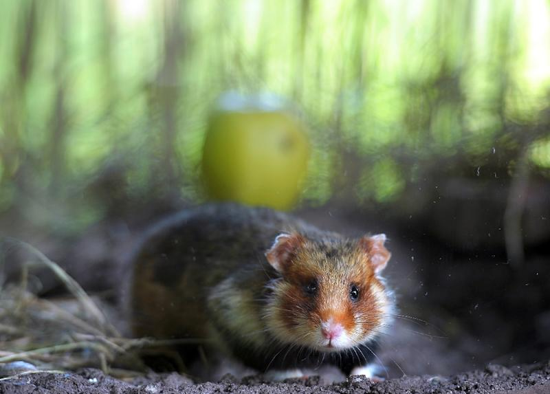 "The major consumption of corn leads to infanticide among the Great hamster, a rodent threatened in Alsace, according to a recent study highlighting ""problems related to monoculture"" (AFP Photo/Frederick FLORIN)"