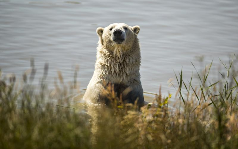 Climate Change Is Driving Polar Bears into Russian Towns