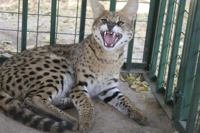 A wild cat, known as a Serval cat, is held in a cage at the headquarters of the South Sudan Wildlife department in Juba, southern Sudan, Thursday, Oct. 11, 2007. (AP Photo/Alfred de Montesquiou)
