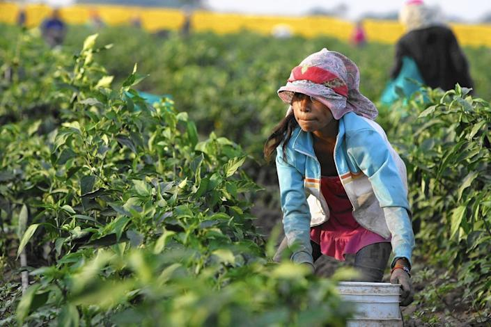 """A 12-year-old girl picks chili peppers in a field in Mexico's Sinaloa state in 2014. <span class=""""copyright"""">(Don Bartletti / Los Angeles Times)</span>"""