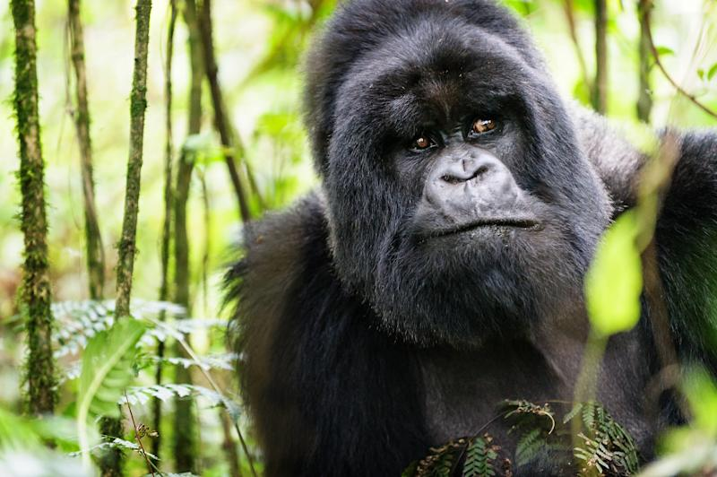 Gorilla trekking is easiest during the dry season, when there is less malaria around - Credit: Vicki Jauron, Babylon and Beyond Photography/Vicki Jauron, Babylon and Beyond Photography