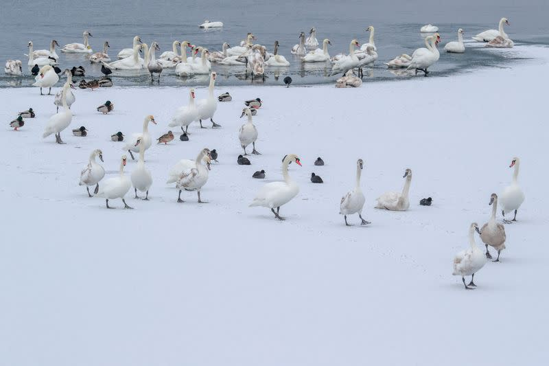 Swans are seen near the bank of a water reservoir outside Ostroh