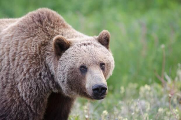 A grizzly is pictured in a file photo. An older, female grizzly has been captured and will be euthanized after killing a woman in southern Alberta last week. (Government of Yukon - image credit)