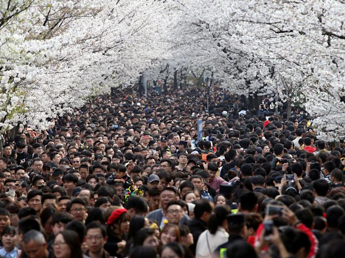 china spring cherry blossoms