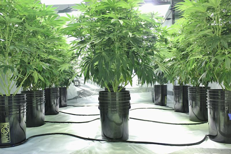 An indoor cannabis grow farm using hydroponic growing methods.