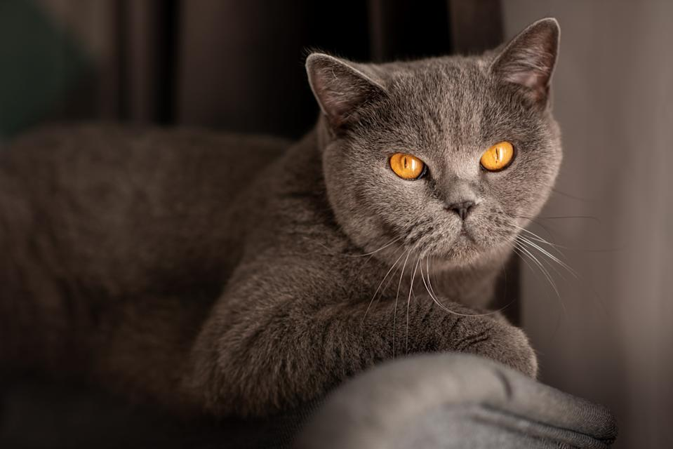 Cute british short-hair cat with copper eyes.