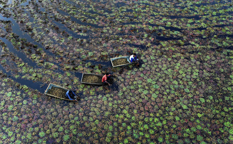 In this Wednesday, Dec. 4, 2019, file photo, villagers pluck water chestnuts from a pond in Kanpur, Uttar Pradesh state, India. Workers earn about about 250 Rupees ($3.50 USD) a day after spending 5-6 hours extracting the aquatic vegetable that grows mostly in stagnant water. (AP Photo/Rajesh Kumar Singh, File)