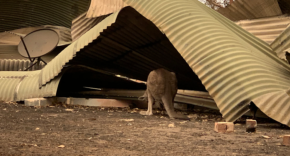 Clover sheltering under corrugated iron after the bushfires.