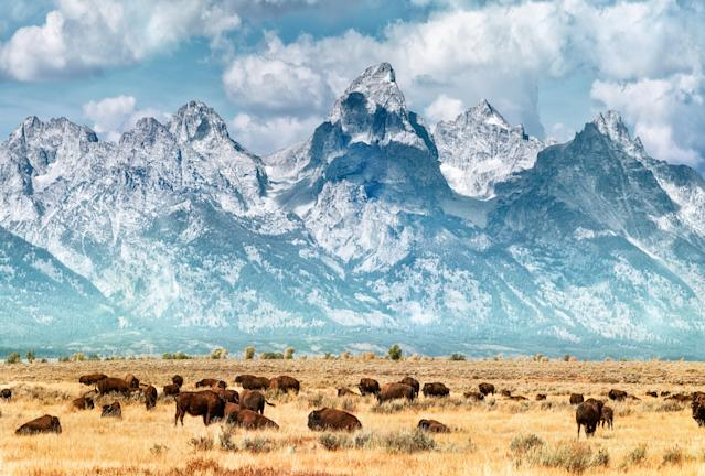 Bison migrate out of Yellowstone National Park on the prairie below the Grand Teton Range. (Photo: Matt Anderson/Getty Images)