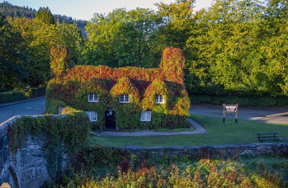 The Virginia creeper covering the Tu Hwnt l'r Bont Tearoom on the banks of the River Conwy in Llanrwst, north Wales, begins to change colour as autumn approaches (Peter Byrne/PA) (PA Wire)
