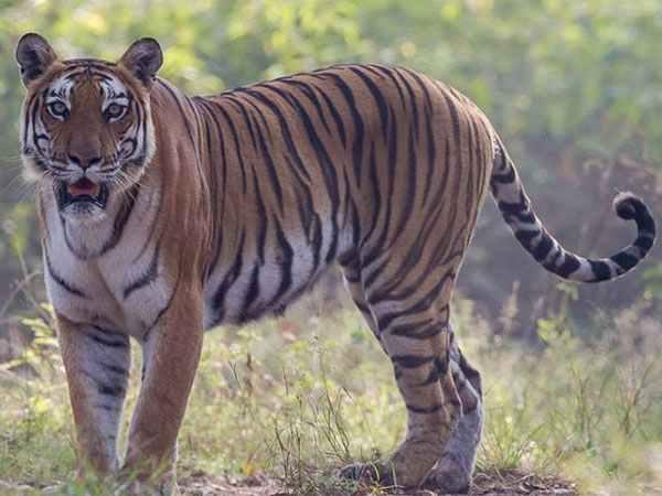 India's man-eating tiger shot dead after massive hunt