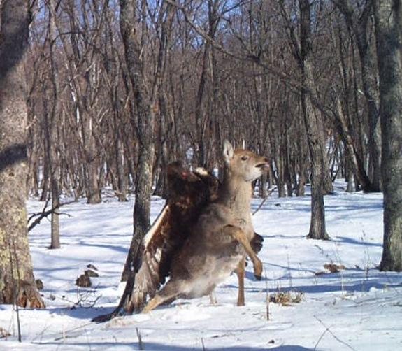 A golden eagle's unusual attack on a sika deer was recorded on camera in Russia's Lazovsky State Nature Reserve on Dec. 1, 2011.
