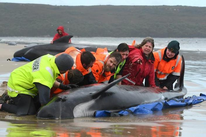 A crew of around 60 conservationists and skilled volunteers have spent days trying to rescue whales stranded in Macquarie Harbour, Australia