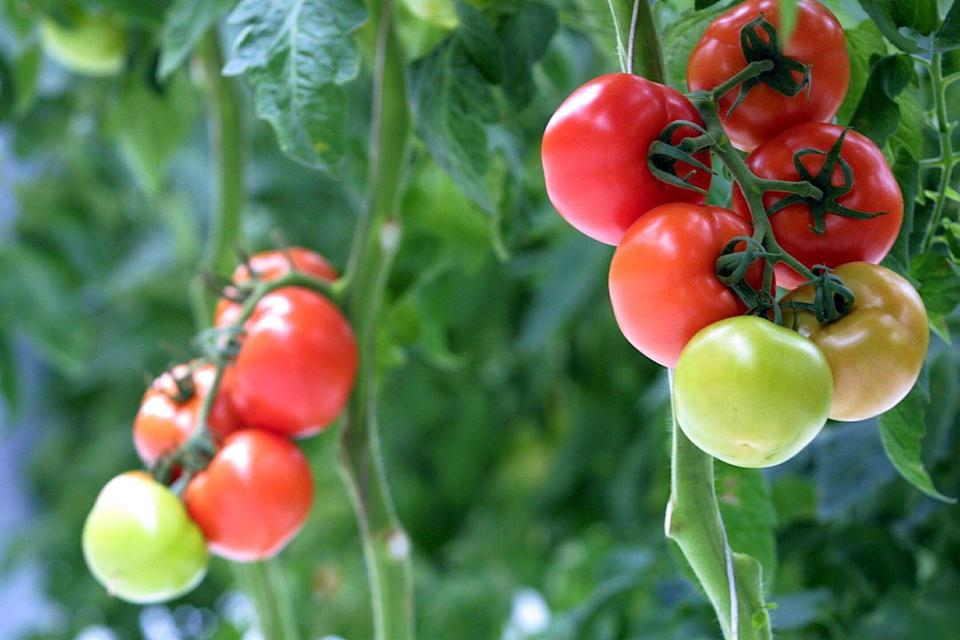 <p>It may come as no surprise that tomoatoes are the most popular vegetable to grow in gardens at home. With so many colors and varieties, the possibilities are truly endless. For those who live in USDA Hardiness Zones 5-10, you can being growing tomatoes from seed indoors in March. For best results, start from seed 6-8 weeks before your last frost indoors in preparation to transfer outside once the last frost has passed.</p>
