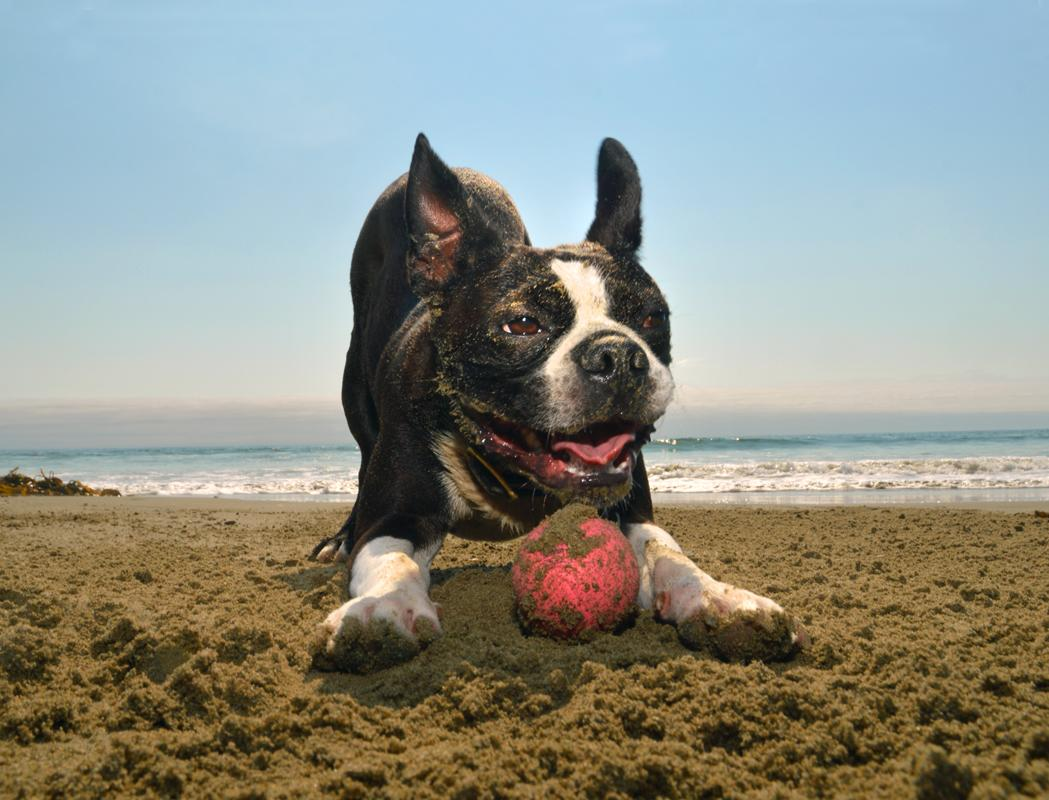 <p>Johnny, Boston terrier, ready to play, Morro Beach, Calif. (Photograph by Lara Jo Regan) </p>
