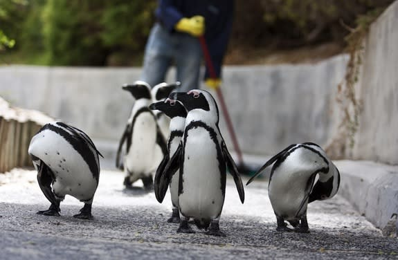 African penguins are also called jackass penguins because their loud calls sound like donkey brays.