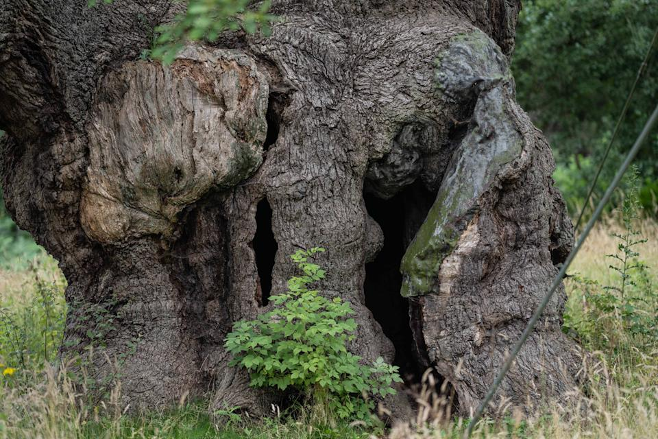 The tree has stood for 1,000 years (Picture: SWNS)