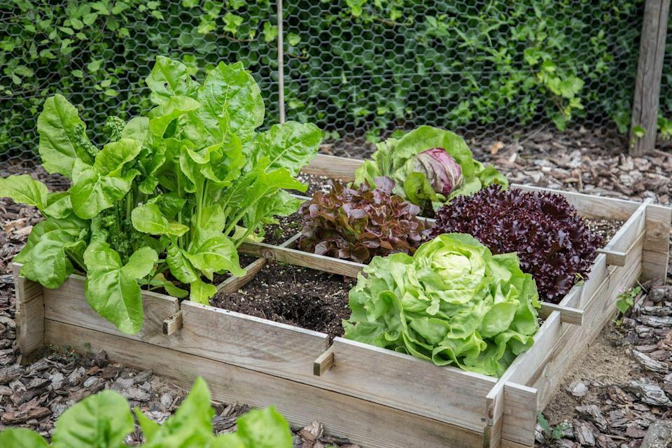 "<p>Use your wooden box to grow your very own <a href=""https://www.goodhousekeeping.com/food-recipes/cooking/g532/types-of-lettuce/"" rel=""nofollow noopener"" target=""_blank"" data-ylk=""slk:salad greens"" class=""link rapid-noclick-resp"">salad greens</a>, like green leaf lettuce, romaine and radicchio. </p>"