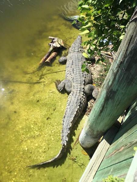"""The female crocodile, who the golf course maintenance team named """"Fred,"""" was once spotted resting on an alligator's tale at Sanibel Island Golf Club."""