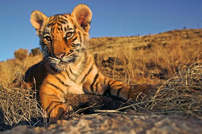 An Indian tiger cub.