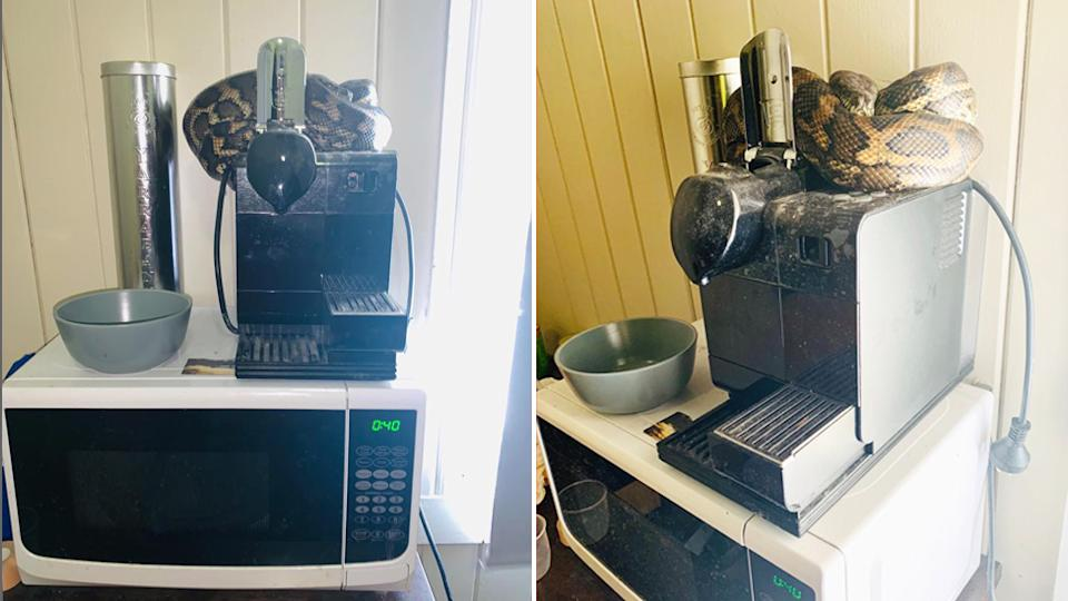 The coastal carpet python was curled up on a coffee machine on a microwave in a Brisbane uni students room.