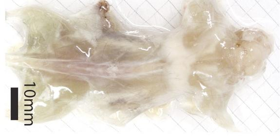 A mouse that has been rendered transparent by a technique called CLARITY that involves a water-based gel and detergents.