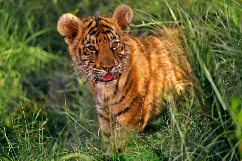 A two month old Indian tiger cub stalks through the long grass.