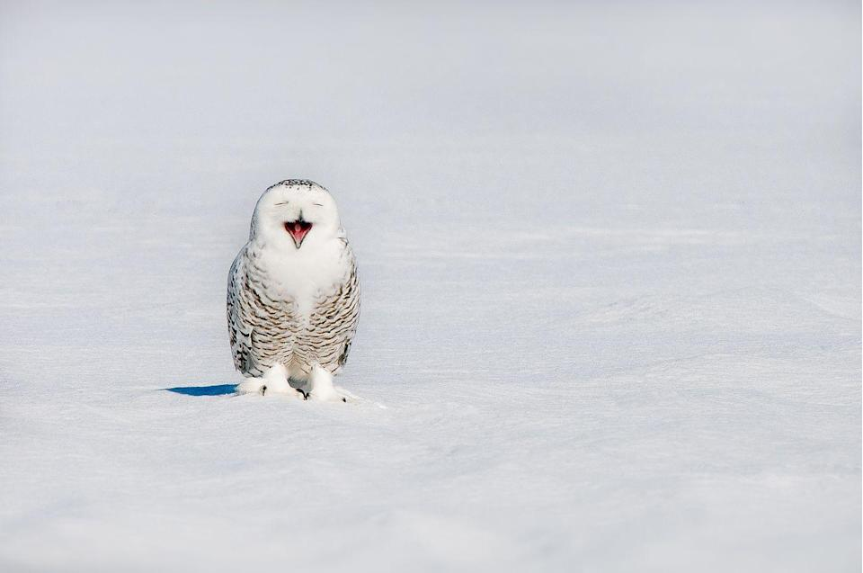 <p>Sure, you would expect to see a snowy owl out in the snow (where else would they be?), but that doesn't make them any less adorable. This snowy owl in Quebec, Canada, was caught mid-yawn. </p>