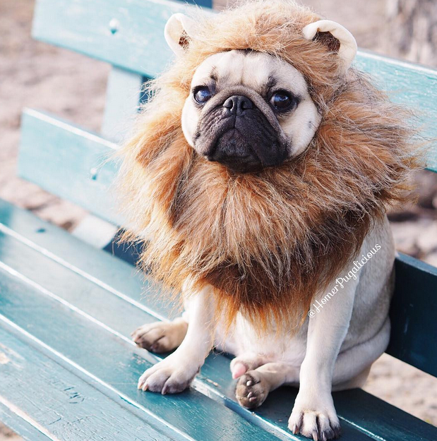 Homer likes to play lion. Photo: Instagram