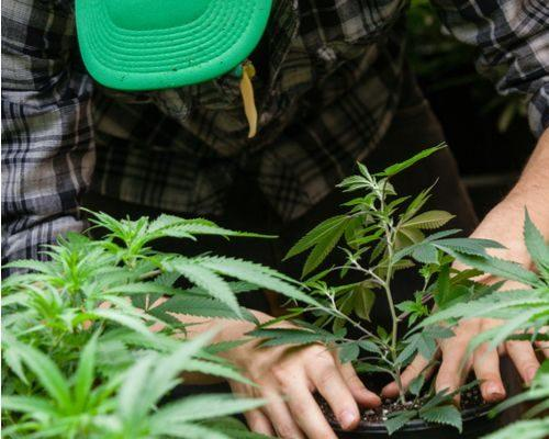 3 Pot Stocks to Consider on the Dip