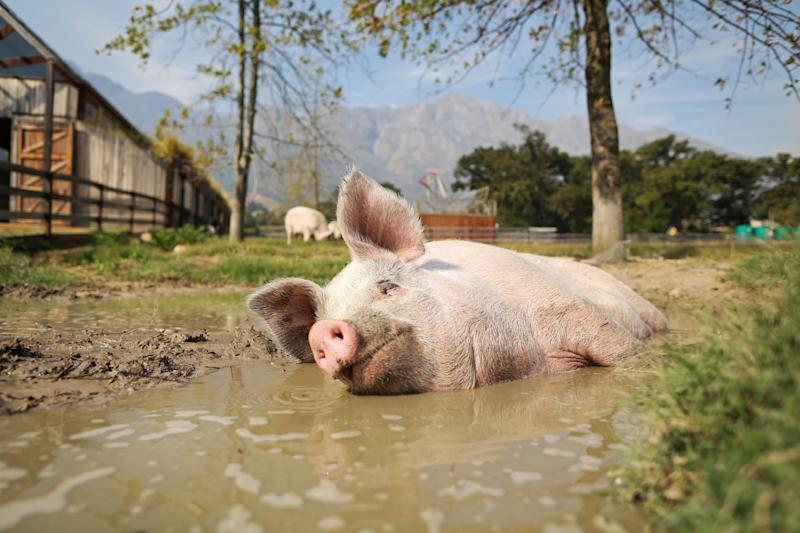 Pigcasso, a rescued pig, cools down in a mud bath after painting at the Farm Sanctuary in Franschhoek, outside Cape Town, South Africa. (Photo: Sumaya Hisham/Reuters)