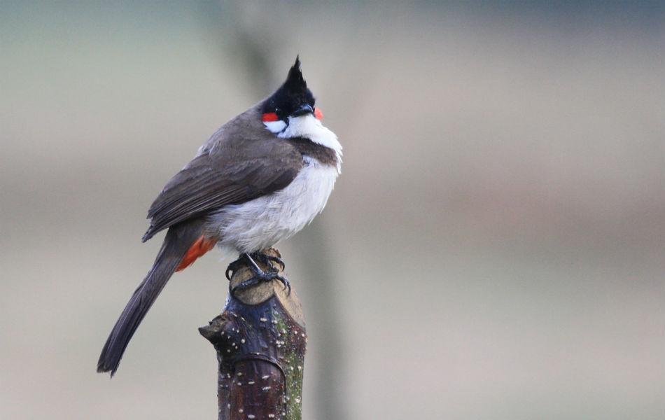 <b>Red-whiskered Bulbul:</b> This common bird is called Sipahi (soldier) bulbul maybe because of its moustache and helmet.