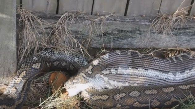 Python dislocates jaw and slowly devours house cat in ...