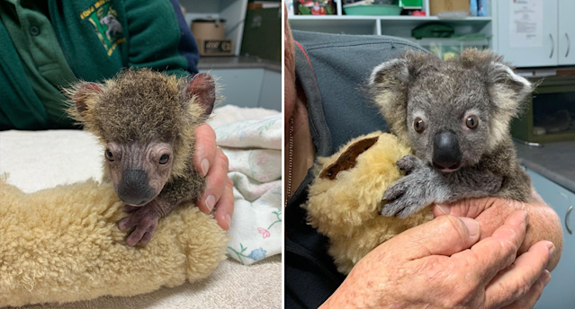 Milk dependent Keli was found on the side of the road suffering from fungal infection and is doing well in care. Source: Koala Hospital Port Macquarie