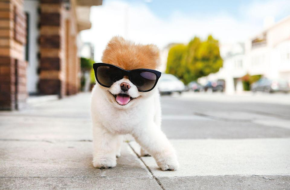 """<p>""""Shades on. Leg out. Head tilt. Tongue ever-so-slightly forward. Trust me, there's an art to this.""""<br></p><p><strong>Follow Boo on Instagram:</strong> <a rel=""""nofollow noopener"""" href=""""https://www.instagram.com/buddyboowaggytails/?hl=en"""" target=""""_blank"""" data-ylk=""""slk:@buddyboowaggytails"""" class=""""link rapid-noclick-resp"""">@buddyboowaggytails</a> </p>"""