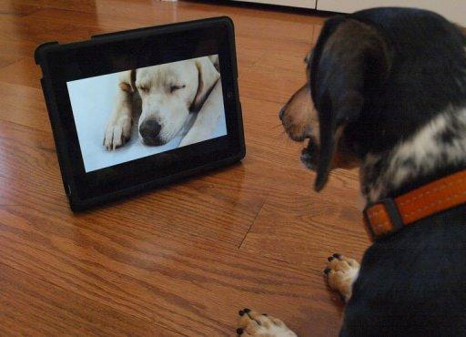 """""""Bandit"""" watches Dog TV in Washington, DC. Dog TV says it's """"the first television channel for dogs,"""" with """"scientifically developed"""" 24/7 programming full of frisky hounds running leashless in lush green fields to soothing strains of meditative music"""