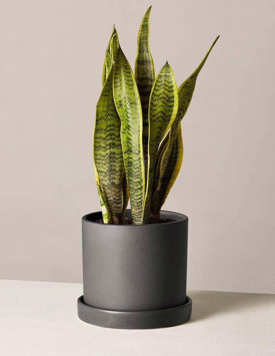 """<h3>Sansevieria</h3><br>Also known as the snake plant, Sansevieria is an air purifying plant that comes highly recommended by both Mast and Gallagher. """"This plant is great for narrow spaces and does most of its work at night converting carbon dioxide to oxygen and can help you sleep better,"""" explains Mast. """"It's one of the most popular options for improving air quality.""""<br><br>The Bloomscape expert says she loves recommending Sansevieria because it's versatile, easy to care for, and adaptable to varied environments. """"It's able to thrive in direct sun and adapts quite nicely to the lower light areas of your home,"""" she points out.<br><br>Because it's native to the arid deserts of West Africa, it doesn't require much water — especially in the winter — so it's a great option for beginners or those more forgetful plant owners. """"Snake plants are extremely hardy — in other words, good for those who don't have a green thumb,"""" Gallagher advises. """"Just don't overwater."""" According to Mast, """"Overwatering can cause the plant to rot, so be sure to keep the leaves dry when watering."""" She recommends moistening the soil around the edge of the pot, instead of in the center of the leaves. Additionally, you should let the soil dry out between waterings.<br><br><em>Shop</em> <strong><em><a href=""""http://thesill.com"""" rel=""""nofollow noopener"""" target=""""_blank"""" data-ylk=""""slk:The Sill"""" class=""""link rapid-noclick-resp"""">The Sill</a></em></strong><br><br><strong>The Sill</strong> Snake Plant Laurentii, $, available at <a href=""""https://go.skimresources.com/?id=30283X879131&url=https%3A%2F%2Fwww.thesill.com%2Fproducts%2Fsnake-plant-laurentii"""" rel=""""nofollow noopener"""" target=""""_blank"""" data-ylk=""""slk:The Sill"""" class=""""link rapid-noclick-resp"""">The Sill</a><br><br><strong>Bloomscape</strong> 3-Foot-Tall Potted Sansevieria, $, available at <a href=""""https://go.skimresources.com/?id=30283X879131&url=https%3A%2F%2Fbloomscape.com%2Fproduct%2Fsansevieria%2F"""" rel=""""nofollow noopener"""" target=""""_blank"""" data-ylk=""""slk:B"""